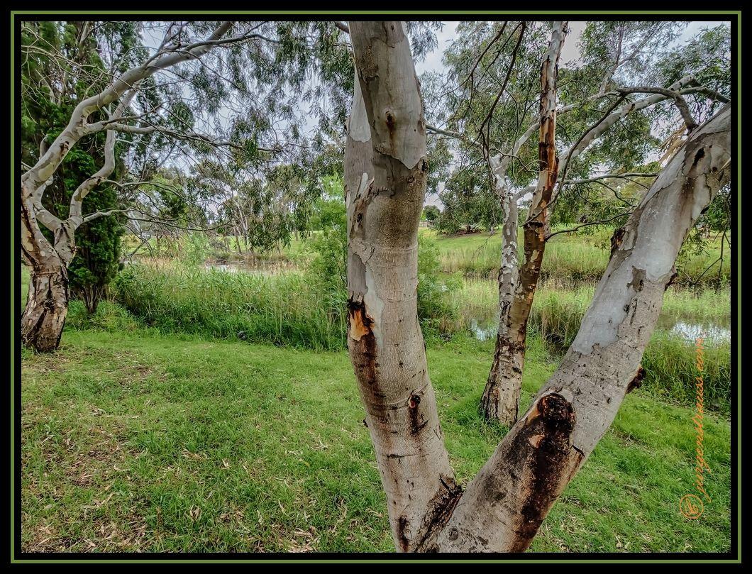 Gum Trees along Hovell's Creek