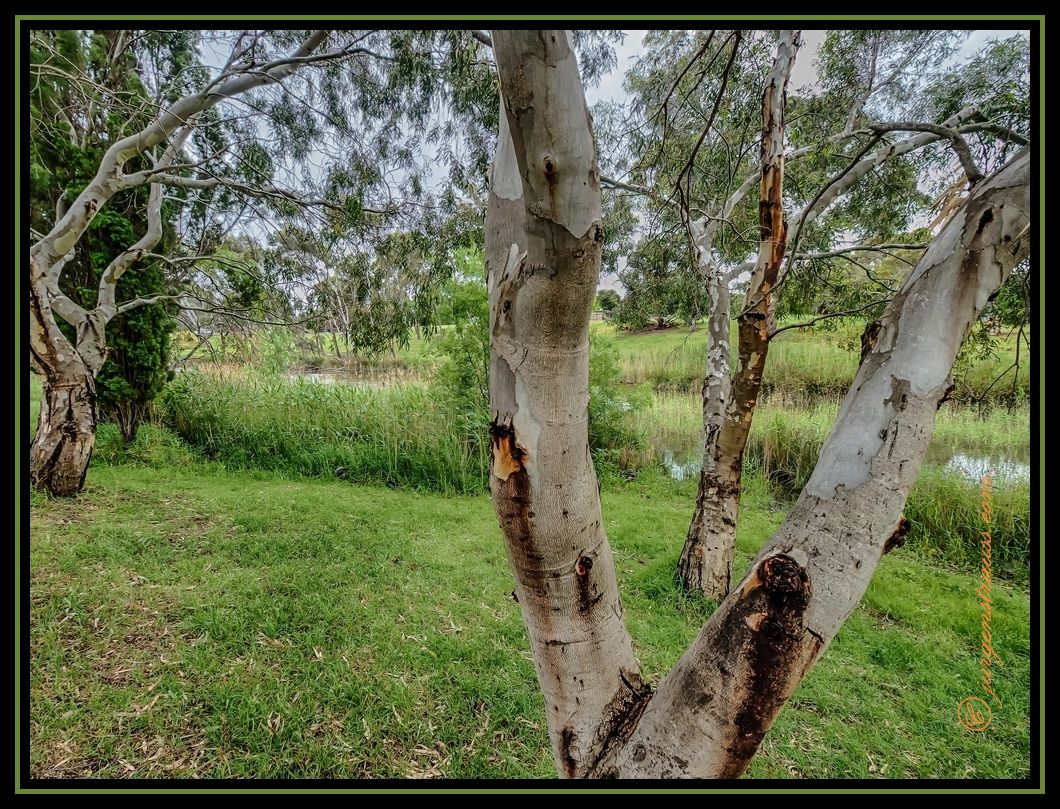 Gum Trees along Hovell's Creek