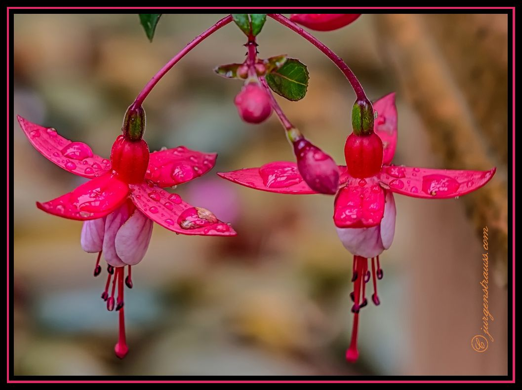 Fuchsias in the Rain