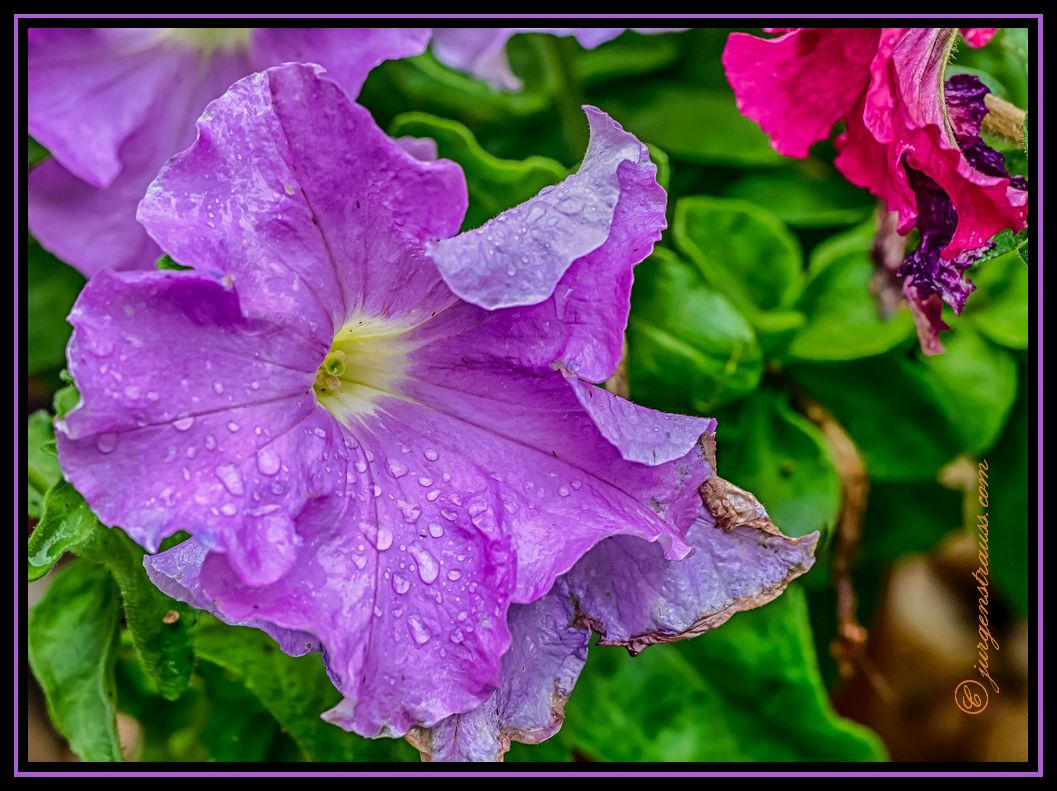 Petunias in the Rain